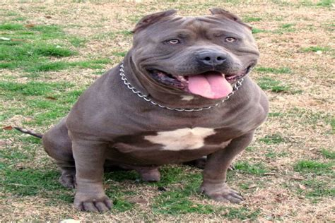American Bully XXL - The Loving and Friendly Giant Bully